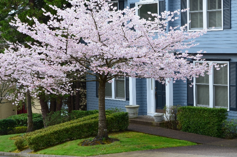 cherry blossom tree care